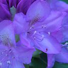 Rhododendron by M.C. O'Connor