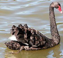 Fabulous Feathers, Black Swan, Lake Ginninderra, A.C.T. Australia. by kaysharp