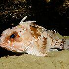 Gulf Gurnard Perch, Western Australia by Erik Schlogl