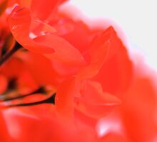 Bright Red Geranium by Alyson Fennell