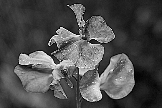 Sweet Pea by Ray Clarke