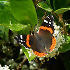 Red Admiral by Colleen Drew