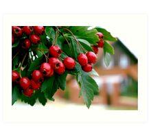 Rowan berry Art Print