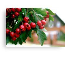 Rowan berry Metal Print