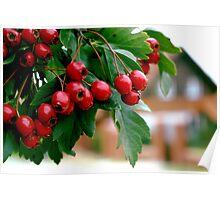 Rowan berry Poster