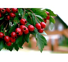 Rowan berry Photographic Print