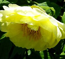 Yellow Tree Peony by Betty Mackey
