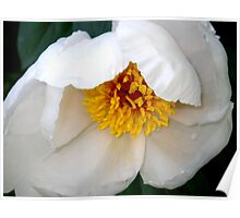 Tender New White Peony Poster