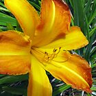Warm Golden Daylily by Betty Mackey