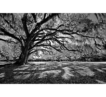 Moss-Draped Oaks in Black and White Photographic Print