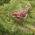 Male Purple Finch by Stephen Stephen