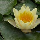 MY POND WATER LILY by Marilyn Grimble