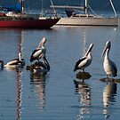 Pelicans at Breakfast. by johnrf