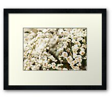 White plum blossoms Framed Print
