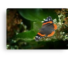 Red Admiral 2 Canvas Print