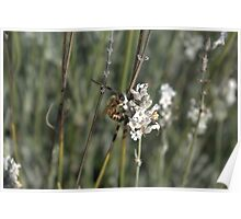 Nature at work - Emu Bay Lavendar Farm, KI Poster