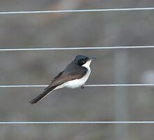 Willie Wagtail by imaginethis