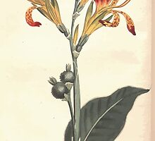 The Botanical magazine, or, Flower garden displayed by William Curtis V13 V14 1799 1800 0049 Canna Indica Common Indian Reed or Shot by wetdryvac