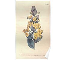 The Botanical magazine, or, Flower garden displayed by William Curtis V13 V14 1799 1800 0115 Crotalaria Triflora Three Flowered Crotalaria Poster