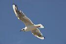 Seagull in flight by David Carton