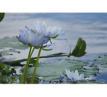 Water Lillies  Photographic Print