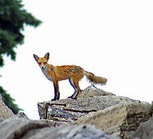 Fox On The Rocks by kkphoto1