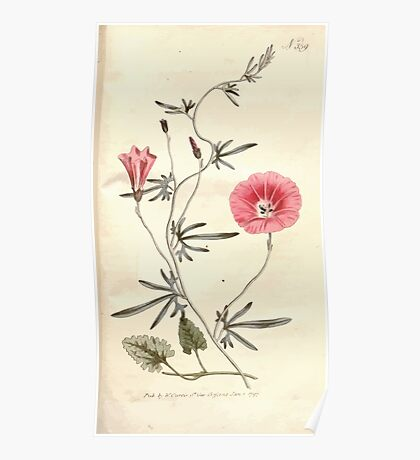 The Botanical magazine, or, Flower garden displayed by William Curtis V9 V10 1795 1796 0154 Convulvulus Althaeoides Silky Leaved Convolvulus Poster