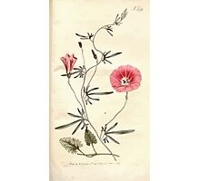 The Botanical magazine, or, Flower garden displayed by William Curtis V9 V10 1795 1796 0154 Convulvulus Althaeoides Silky Leaved Convolvulus Photographic Print