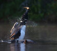 Pisces Rising - Common loon by Jim Cumming