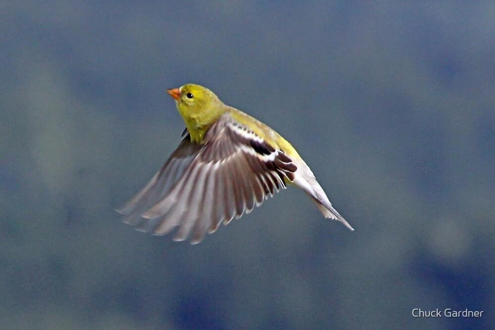 Female Gold Finch in Flight by Chuck Gardner