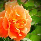 Orange rose by Maria1606