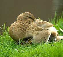 Mother duck and duckling 2 by steppeland
