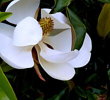 """""""The Magnolia In Full Bloom"""" by franticflagwave"""
