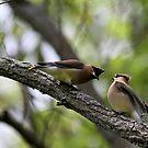 Cedar Waxings going nuts. by Erik Anderson