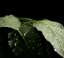 Leaf with rain drops 9940 by João Castro
