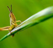 Grasshopper.. by tchebytchev