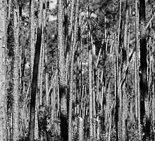 Pine Forest by Dian  Squire