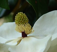 The Heart of a Magnolia by Lee Hiller