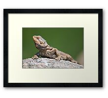 bearded dragon on a rock Framed Print