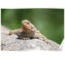 bearded dragon rock Poster