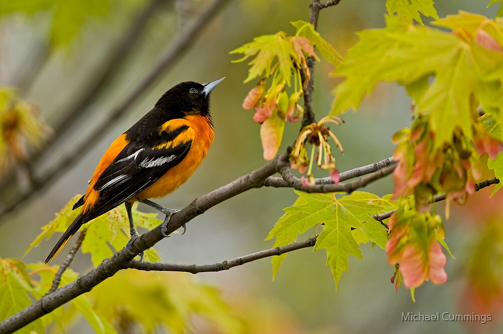 Northern Oriole looking for supper - Ottawa, Ontario by Michael Cummings