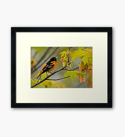 Northern Oriole looking for supper - Ottawa, Ontario Framed Print