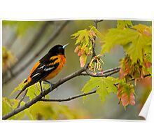 Northern Oriole looking for supper - Ottawa, Ontario Poster
