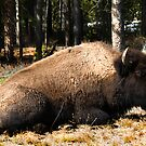 Bison Bull in Yellowstone by Kay Kempton Raade