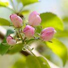 Apple tree blossoms by okcandids
