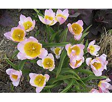 Welcoming Tulips Photographic Print