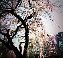 cherry blossoms by sid8chris