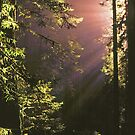 SUNRISE,REDWOODS by Chuck Wickham