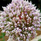 Wild Garlic Bloom by Sandra Moore