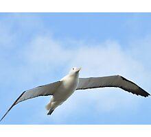 Albatross in flight around Otago Photographic Print